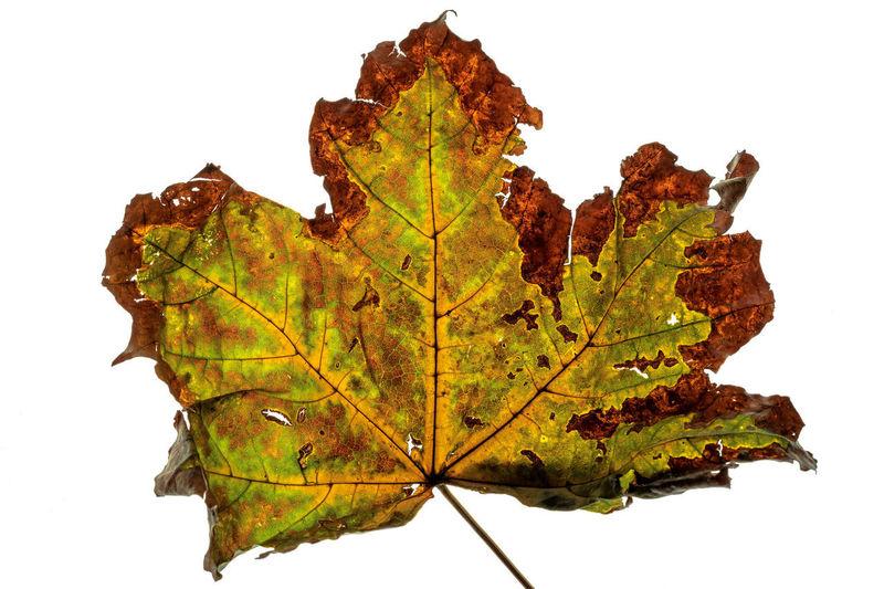 so many colors Autumn Autumn Colors Fall Colors Macro Photography Autumn Change Dry Fall Leaf Macro Macro Nature So Many Colors White Background