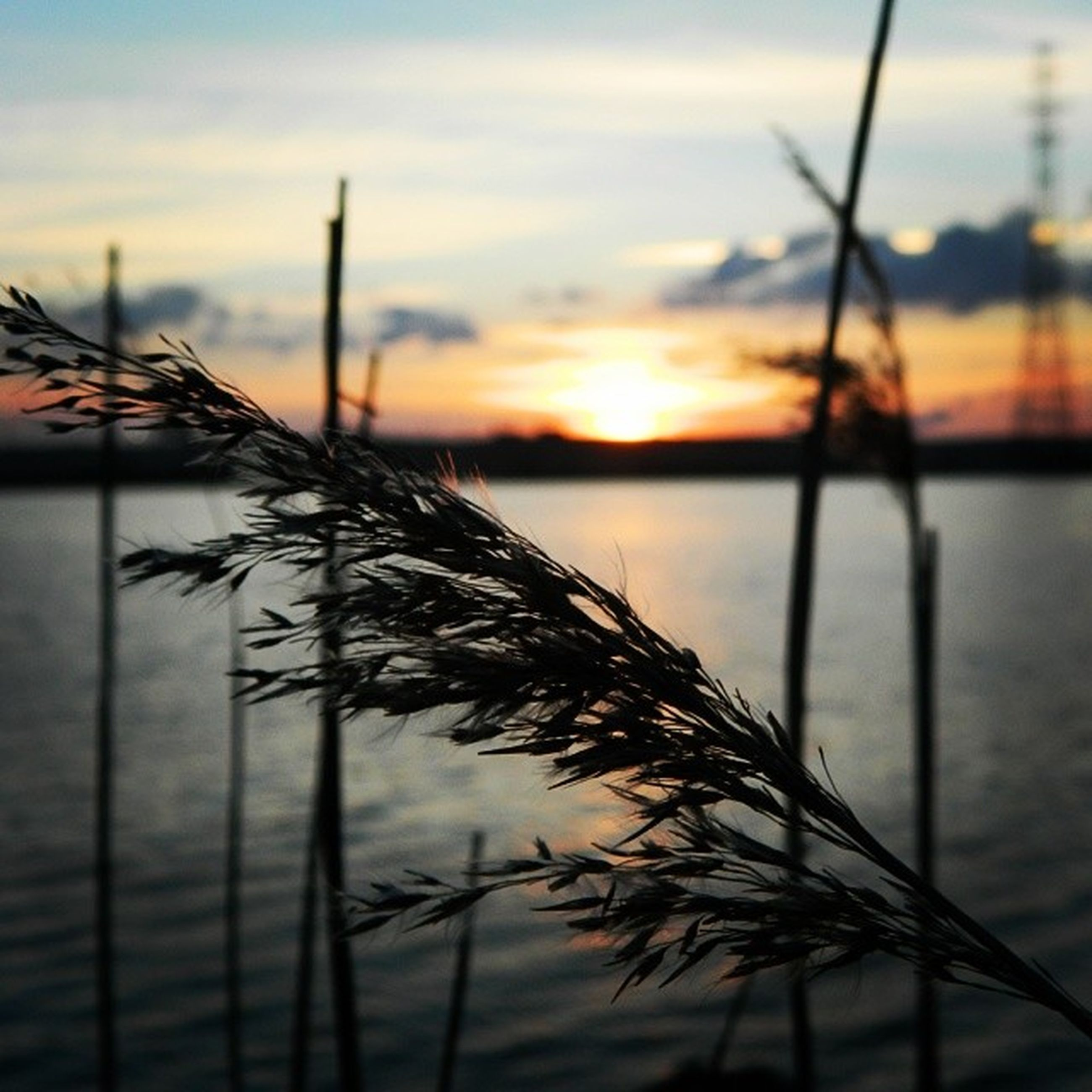 sunset, water, sky, tranquility, tranquil scene, nature, beauty in nature, focus on foreground, scenics, orange color, plant, silhouette, sea, growth, stem, lake, idyllic, close-up, grass, reflection