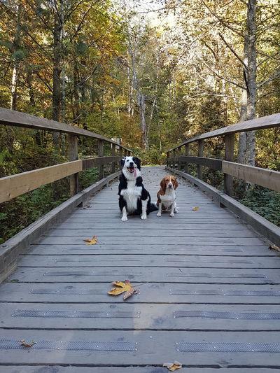 Dog sitting on footbridge