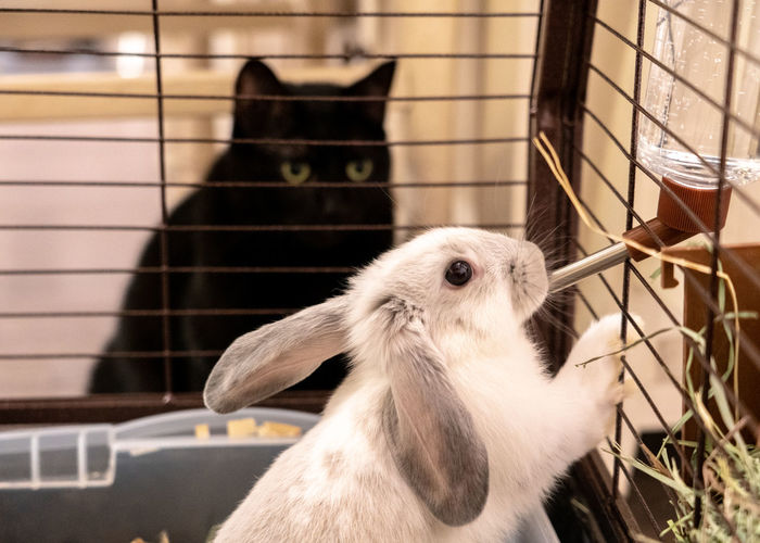 Black cat watching the rabbit
