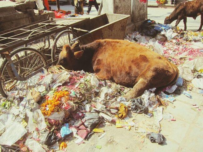 Pollution In My World under heritage site... Cow Animals Pollution