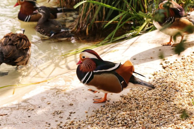 Bird Duck Animal Themes One Animal Nature Animal Wildlife Animals In The Wild Day No People Water Mandarin Duck Outdoors Domestic Animals