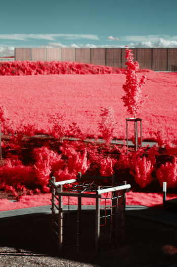 Red flowering plants by empty chairs against sky infrared