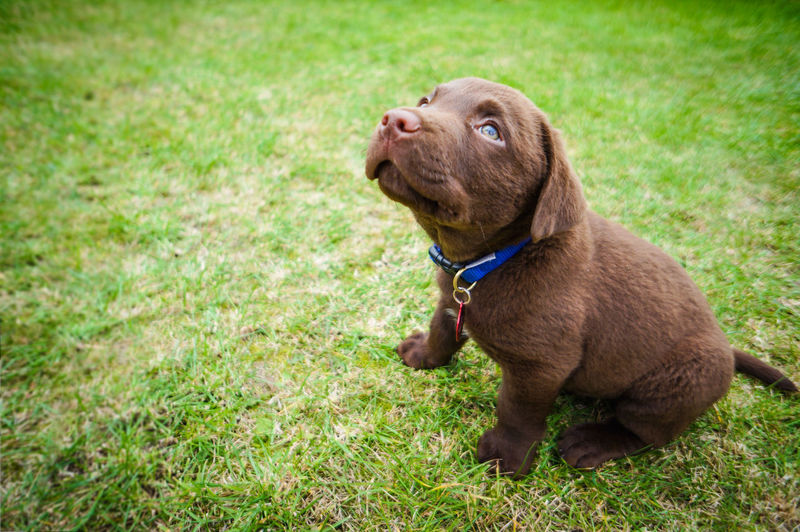 Full length of labrador retriever puppy sitting on grass in park