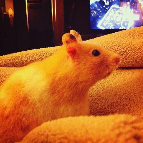 bb ? Hanna Hamster Love