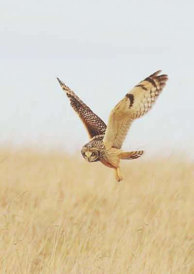 Short Eared Owl Wildlife Wild Nature Bird One Animal Flying Animal Wildlife Animals Hunting Bird Of Prey Spread Wings Nature Animals In The Wild Bird No People Animals In The Wild Nature Living Organism Beauty In Nature