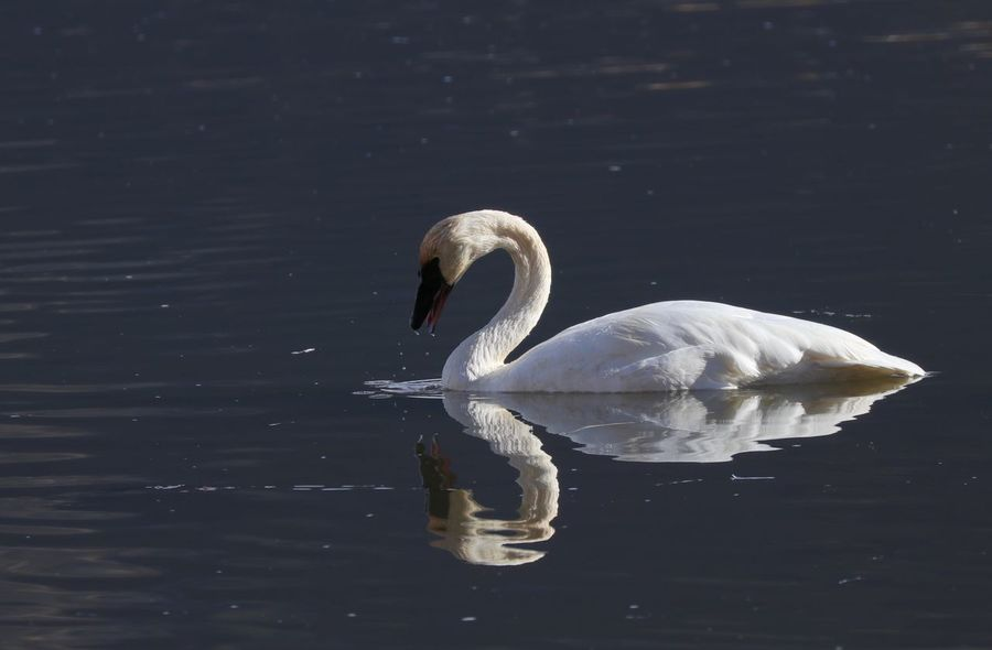 Trumpeter Swan Animal Wildlife Beauty In Nature Bird Close-up Swan Swimming Trumpeter Trumpeter Swan Water Water Bird
