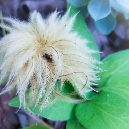 FLUFFY DRY Flower Close-up Selective Focus Fragility Nature Beauty In Nature Still Life The Song Of Color Eyeemphoto Fine Art The Art Of Photography Tranquility StillLifePhotography Botany MUR HARVEST Birdeyeview. Extreme Close-up Dry Flower