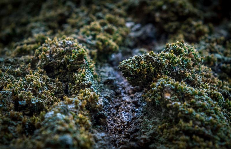 marijuana - herbal cannabis