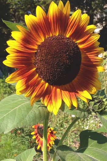 Sun shine flower. Autumn End Of Summer Wandering Nature_collection EyeEm Nature Lover Sunflower Berlin Memories Favorite Flower