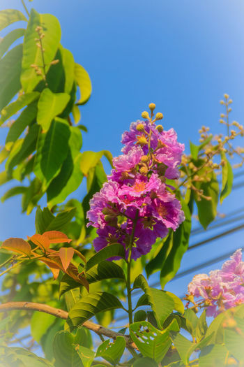 Purple flowers and green leaf of queen's flower (Lagerstroemia speciosa) on tree with blue sky background. Lagerstroemia Flower Lagerstroemia Speciosa Lagerstroemia Indica Lagerstroemia Speciosa (L) Pers. Lagerstroemia Speciosa Fl Lagerstroemia Speciosa Flower Lagerstroemia Speciosa Pers. Queen's Flower Beauty In Nature Blue Blue Sky Blue Sky And Clouds Blue Sky Background Blue Sky With Clouds Bluesky Cherry Blossom Clear Sky Close-up Day Flower Flower Head Flowering Plant Fragility Freshness Growth Lagerstroemia Lantana Leaf Lilac Low Angle View Nature No People Petal Pink Color Plant Plant Part Sky Springtime Vulnerability