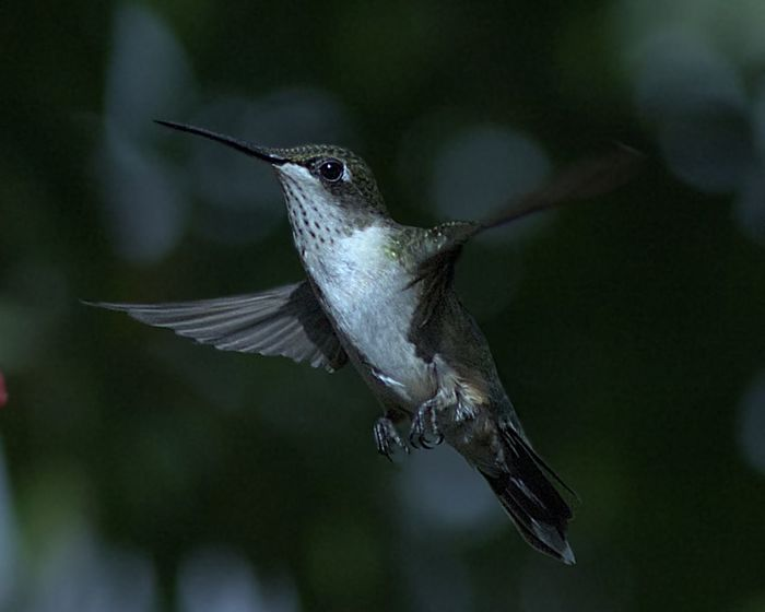 Ruby Throat-ed Hummingbird Humming Bird Animal Animal Themes Animal Wildlife Animals In The Wild Beauty In Nature Bird Close-up Day Flapping Flying Focus On Foreground Hummingbird Mid-air Motion Nature No People One Animal Outdoors Selective Focus Spread Wings Vertebrate
