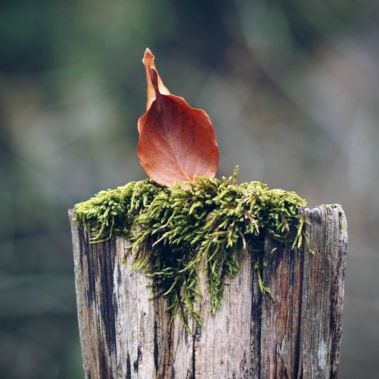 Close-Up Of Maple Leaf On Wooden Post
