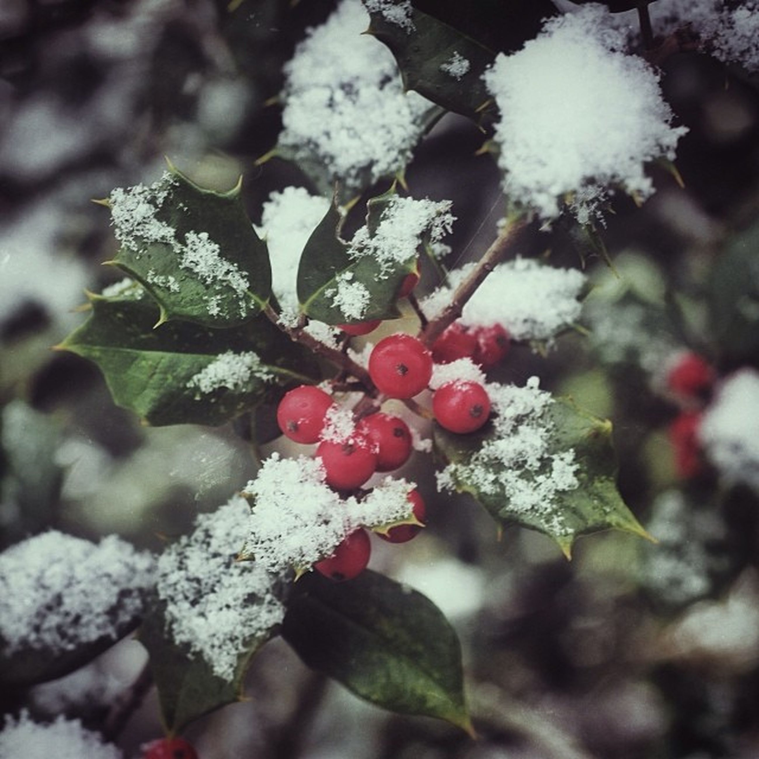 fruit, cold temperature, winter, snow, red, frozen, close-up, food and drink, freshness, focus on foreground, growth, berry fruit, branch, nature, season, food, berry, tree, weather, healthy eating