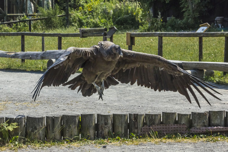 An andean condor in wild park Potzberg Andean Condor Beak Cathardidae Nature New World Vulture Pluma Vultur Gryphus Animal Animal World Bird Birds Claws Fauna Feather  Feathering Landscape Outdoors Wild Park