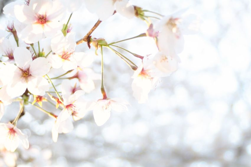 Sakura Flower Plant Growth Beauty In Nature Flowering Plant Fragility Freshness Blossom Springtime Nature Close-up Day Low Angle View Petal White Color