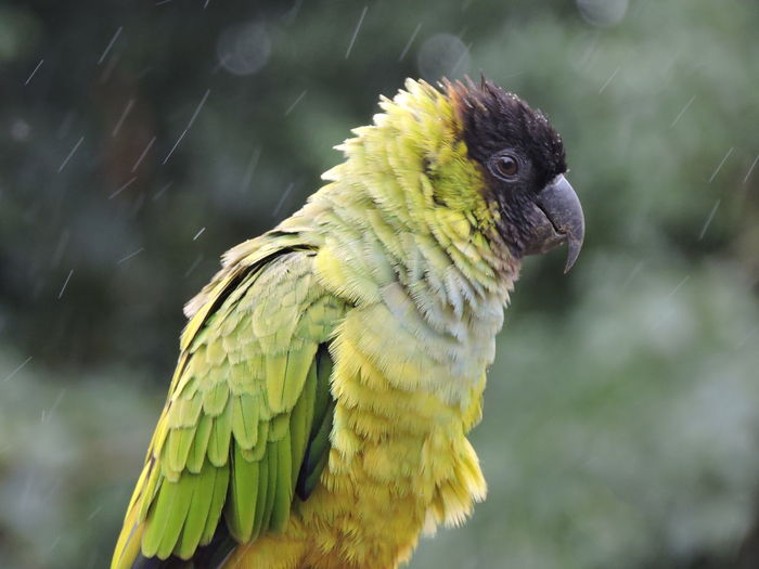 Close-Up Of Parrot In Forest On Rainy Day