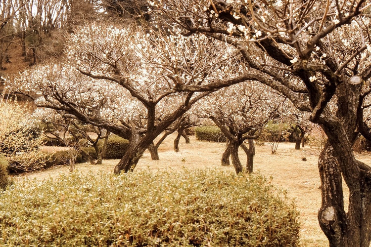 No People Outdoors Beauty In Nature Nature Tree Film Photography Reversal Film Machida Filtered Image 薬師池公園 Photoshop Apricot ApricotBlossom Apricot Flower