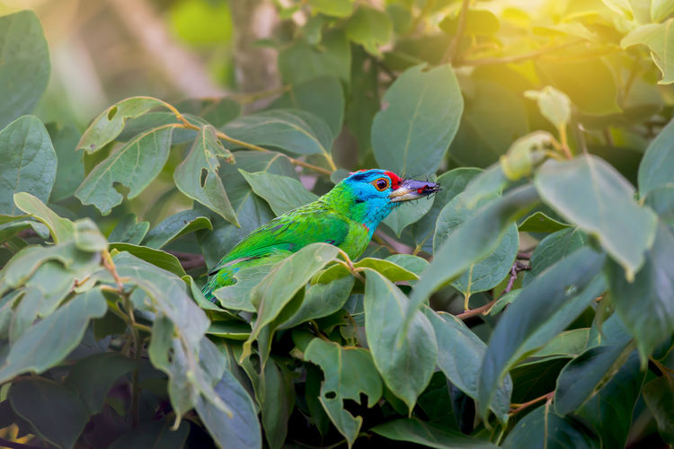 Breeding time. Colourful green bird ,Blue-throated Barbet ( Megalaima asiatica ) catching insect for feeding baby in highland forest. Animal Wildlife Bird Blue Throated Barbet Insect Perching On A Branch Prey Animal Sunlight Tropical Climate