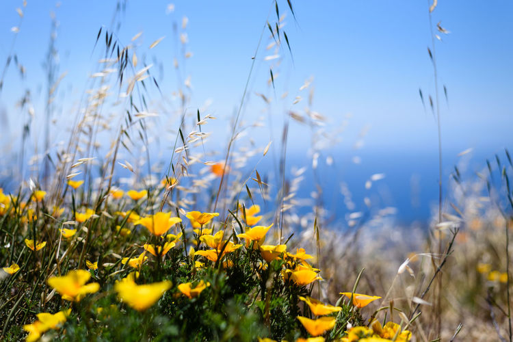 Close up of yellow flowers with blue sky and the sea in the background (shot on the way to the El Teide volcano, Tenerife, Spain) El Teide Nature Beauty Beauty In Nature Close-up Day Field First Eyeem Photo Flower Flowering Plant Fragility Freshness Growth Land Landscape Nature No People Outdoors Plant Selective Focus Sky Summer Tranquility Vulnerability  Yellow