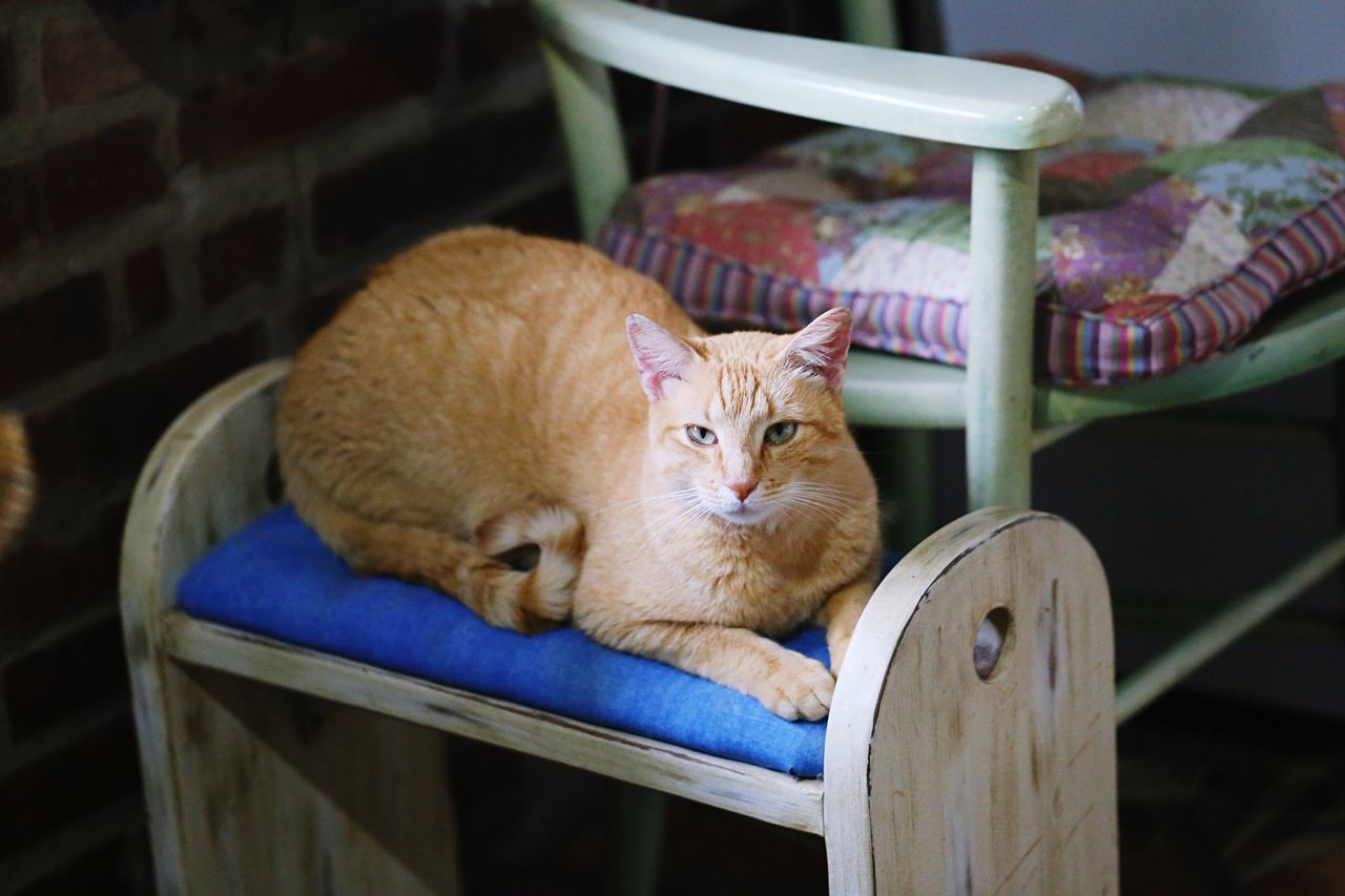 domestic cat, pets, animal themes, one animal, domestic animals, mammal, chair, feline, cat, relaxation, no people, sitting, table, portrait, indoors, looking at camera, ginger cat, day, close-up
