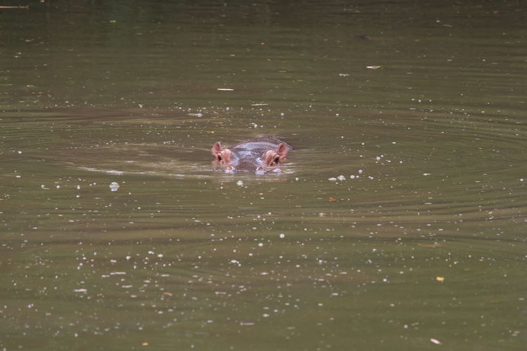 Hippo Diving in the pool Animal Animal Body Part Animal Head  Animal Themes Animal Wildlife Animals In The Wild Day Hippopotamus Lake Mammal Nature No People One Animal Outdoors Rippled Swimming Vertebrate Water Waterfront