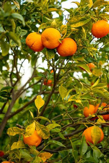 Italy Sicily Fruit Healthy Eating Plant Food Tree Food And Drink Growth Freshness Leaf Plant Part Orange Color Fruit Tree Citrus Fruit No People Orange Tree Orange Nature Wellbeing Focus On Foreground Orange - Fruit Ripe Outdoors