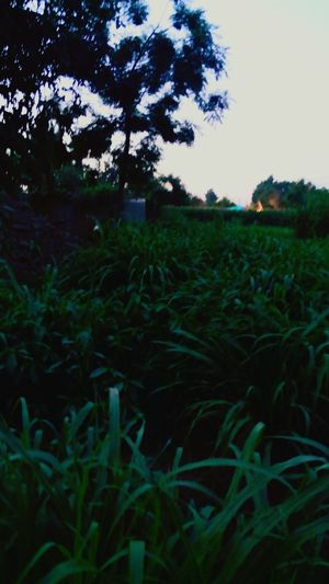 little Corn Agriculture Field Farm Outdoors Beauty In Nature Green Plant Friday Sunset EyeemGreen