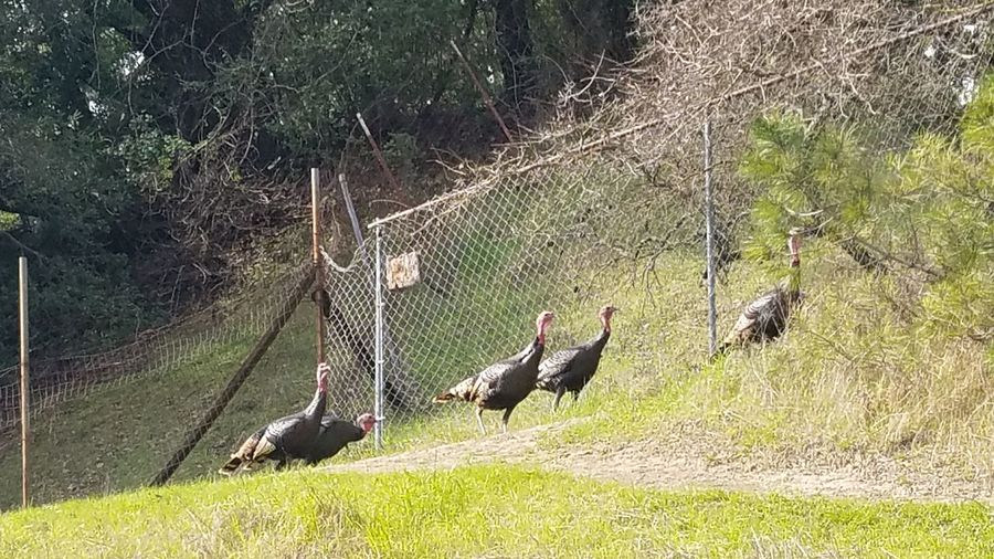 Wild Turkeys Animal Themes Grass Nature Outdoors Day Green Color No People Field Birds
