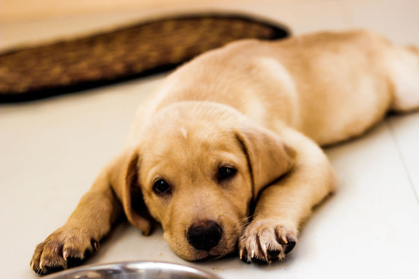 Animal Animal Head  Animal Themes Brown Close-up Dog Domestic Animals Focus On Foreground Front View Indoors  Laziness Looking At Camera Loyalty Lying Down Mammal Napping One Animal Pampered Pets Pets Portrait Relaxation Resting Sleeping Young Animal Zoology