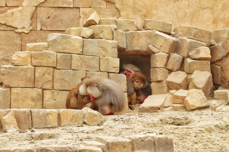 Baboons Sleeping Against Rocks At Zoo