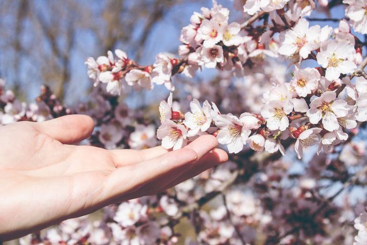 Close-up of hand touching cherry blossoms