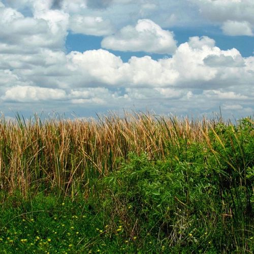 Sky meets land. Field Nature Cloud - Sky Outdoors Rural Scene Scenics No People Landscape Tranquility Blue Sky White Clouds And Blue Sky Water Reeds Cattails