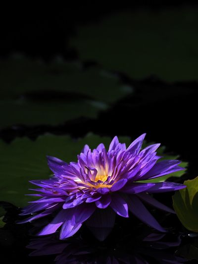 Purple Flower Beauty In Nature Nature In Bloom Blossom EyeEmBestPics Lotus
