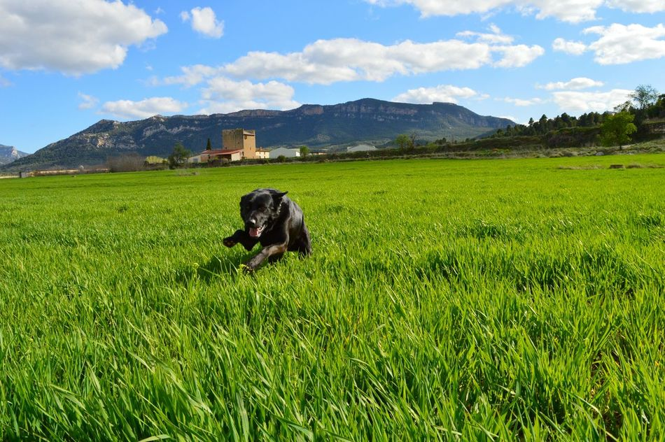 Black Dog Running On The Grass Running Grass Tower Lands Green Mountains Landscape Landscape_Collection Nice Day Blue Sky Pets EyeEmBestPics Eye4photography  EyeEm Nature Lover EyeEm Best Shots EyeemTeam EyeEm Best Shots - Nature Nature_collection Nature Green Green Green!  EyeEmBestPics