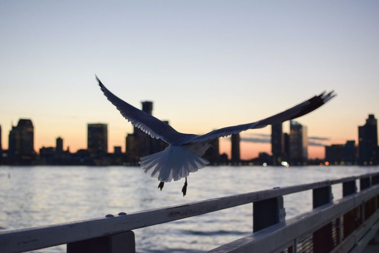 Animals In The Wild Animal Themes Flying Spread Wings One Animal Animal Wildlife Outdoors Nature Places I've Been Water Hudson River Birds_collection Birds Of EyeEm  Bird Photography Hudsonriver Seagulls Beauty In Nature Nature Seagull Animals In The Wild Sunset Birds Bird River