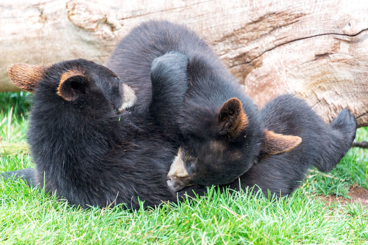 Black bear cubs playing on field