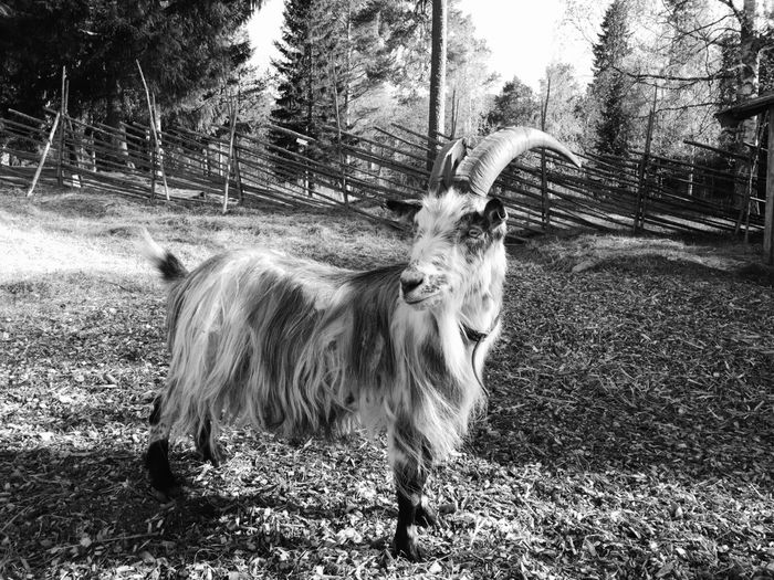 Domestic Animals Livestock Nature Outdoors No People Mate 9 Pro Nature Blackandwhite