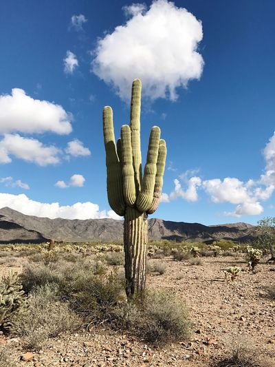 Cactus in desert against sky
