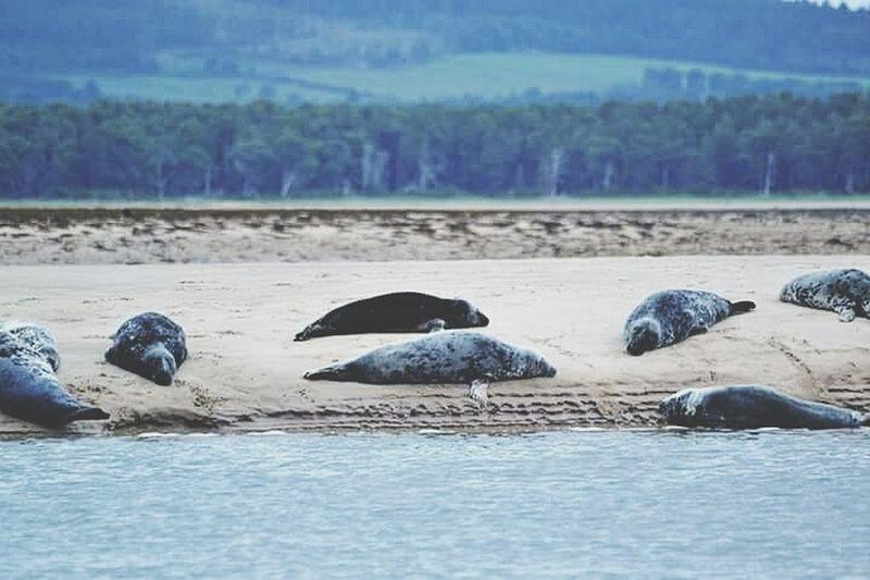 Animal Wildlife Sea Animal Nature Beach Sea Lion Seal Seals Highlands Highlands And Islands Scotland Scotlandsbeauty Scotlandpassion Wildlifephotographer Photography Focas Naturaleza Playa