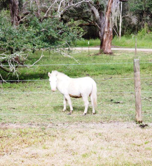 mini horse Equine Equine Photography Animal Home Texas No People EyeEmNewHere Tree Grazing Full Length Field Standing Grass Livestock Herbivorous Pony Horse Mane