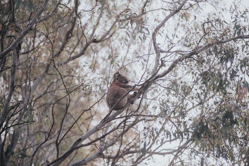 Low angle view of kuala sitting on tree