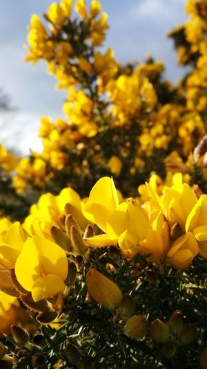Yellow Nature Flower Plant Close-up No People Fragility Outdoors Beauty In Nature Flower Head Day Sky Gorse Flowers