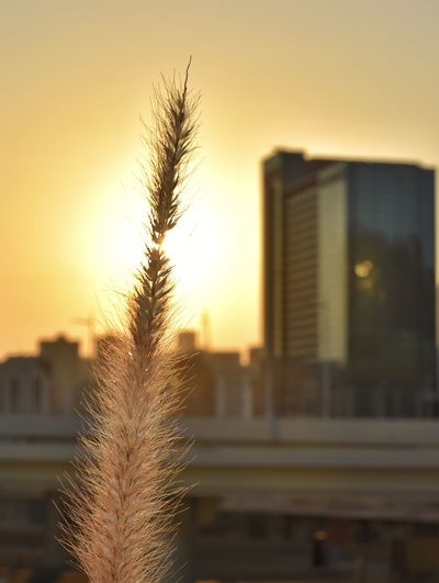 Close-up of plant against buildings during sunset