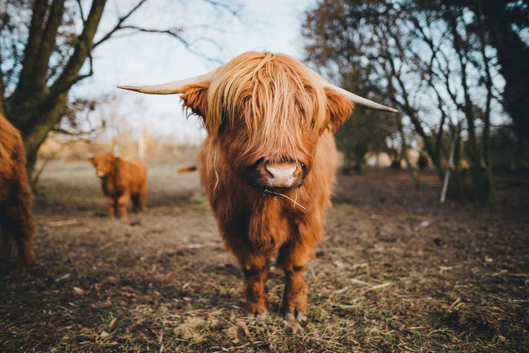 Land Animal Field Domestic Domestic Animals Tree Pets Animal Themes Plant Livestock Nature Mammal Cattle Standing Brown Vertebrate Focus On Foreground Day No People Domestic Cattle Highland Cattle Outdoors Herbivorous Highland Cow