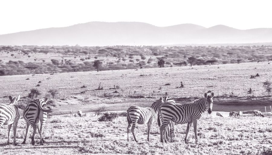 Animal Themes Landscape Livestock Mountain Herbivorous Tranquil Scene Zebra Scenics Nature Full Length Field Glowing Hanging Out Holiday Moments