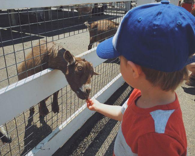 High angle view of boy feeding goat