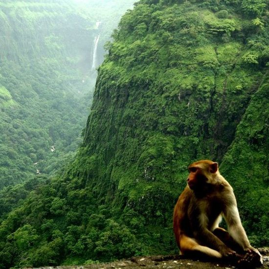 I love the view he doesn't. ? clicked at Varanda Ghat, Maharashtra. Monsoon Mountainranges Monsoonmagic Monkey momentsofmadness randomness rains raindrops maharashtra india incredibleindiaofficial incredibleindia wanderlust travelbug travel