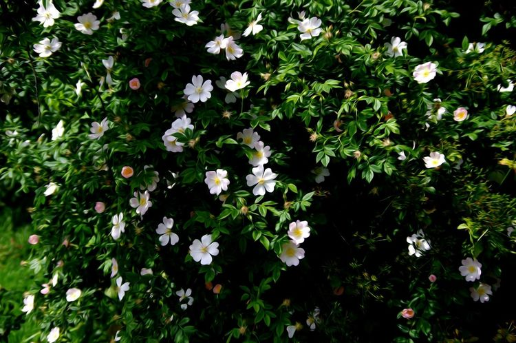 Flower Growth Summer Outdoors Beauty In Nature Day No People Freshness Hedge Row Beauty Nature On Your Doorstep Wild Roses Multi Colored White Color