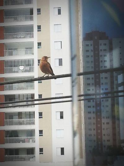 Um show impar e exclusivo na janela do escritório hoje, e depois de cantar, Ainda me deixou fotografá-lo... Um artista apaixonante! Bird Nature Singing Working EyeEm Window Happiness
